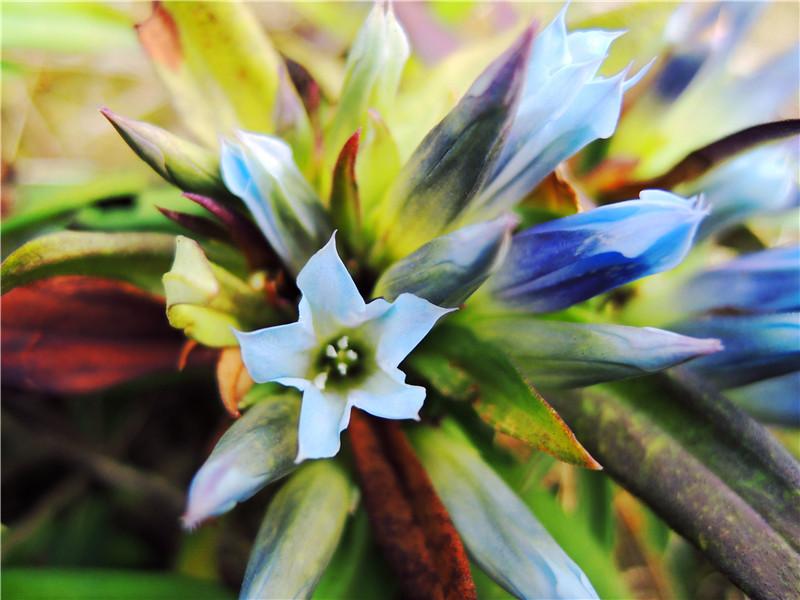 麒麟山蓝色野花,求名字~