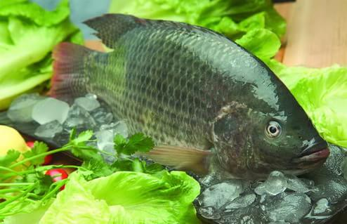 罗非鱼 vs 蛋白质