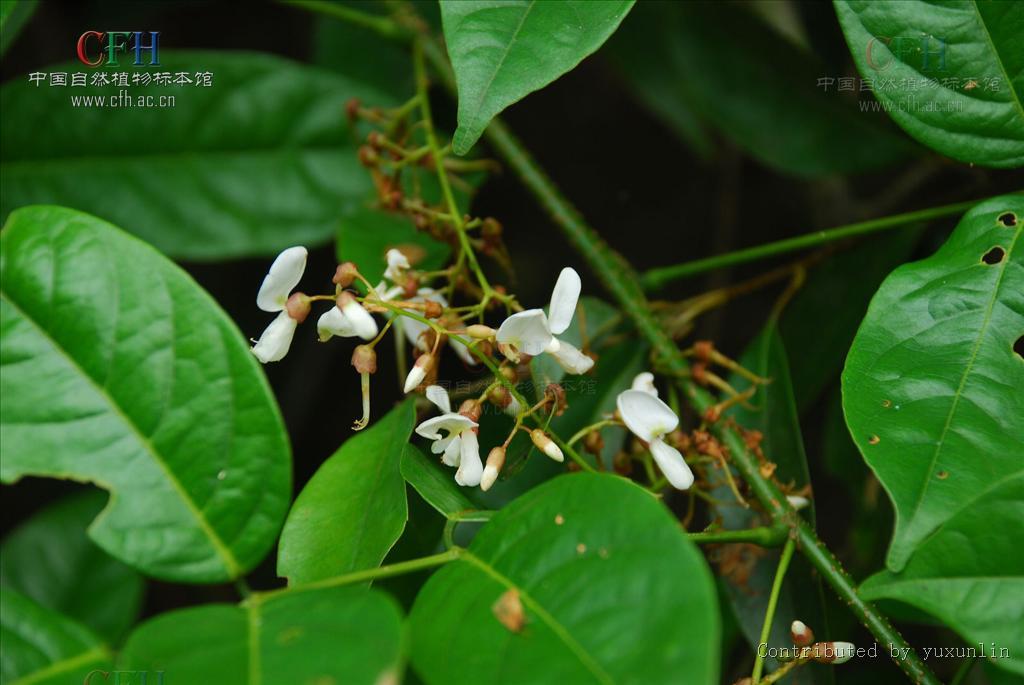 野外求生植物:鱼藤