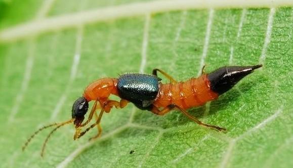 夏季如何预防隐翅虫