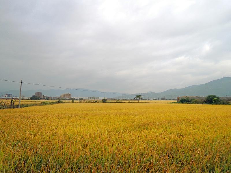 沿县道107路边的稻田