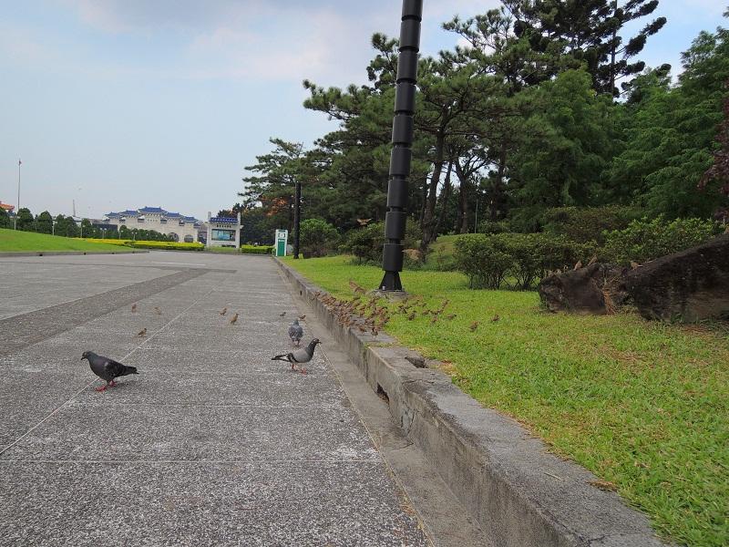 很多麻雀和鸽子