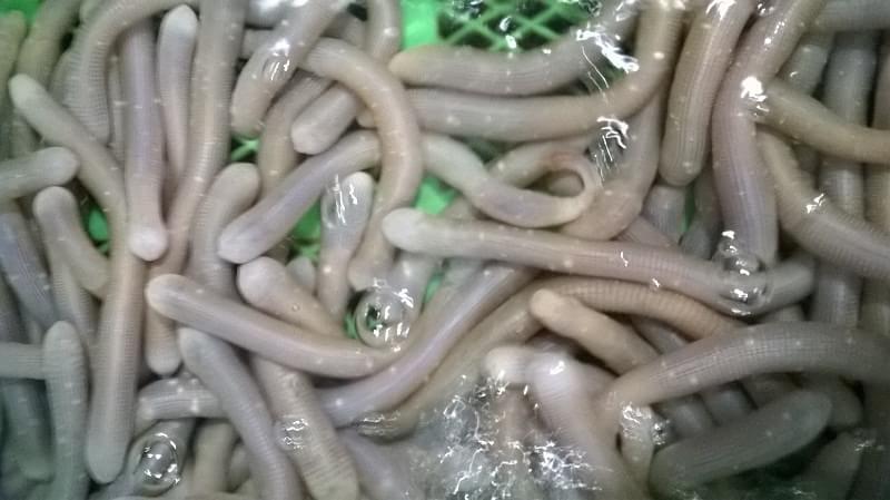 沙虫 土笋冻
