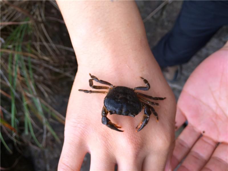 野外求生抓螃蟹