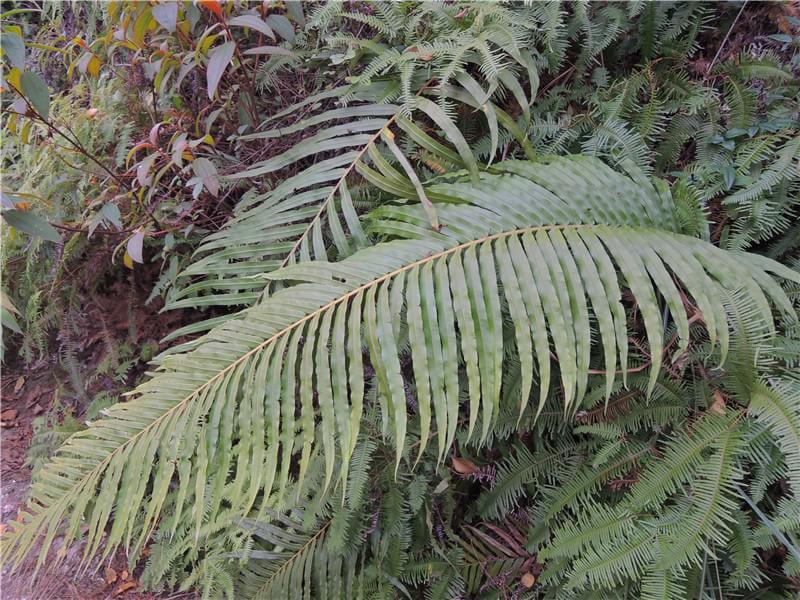 野外求生植物