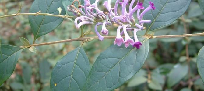 野外求生植物:醉鱼草
