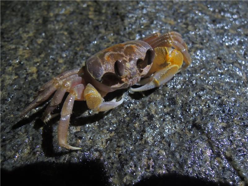 海边的螃蟹