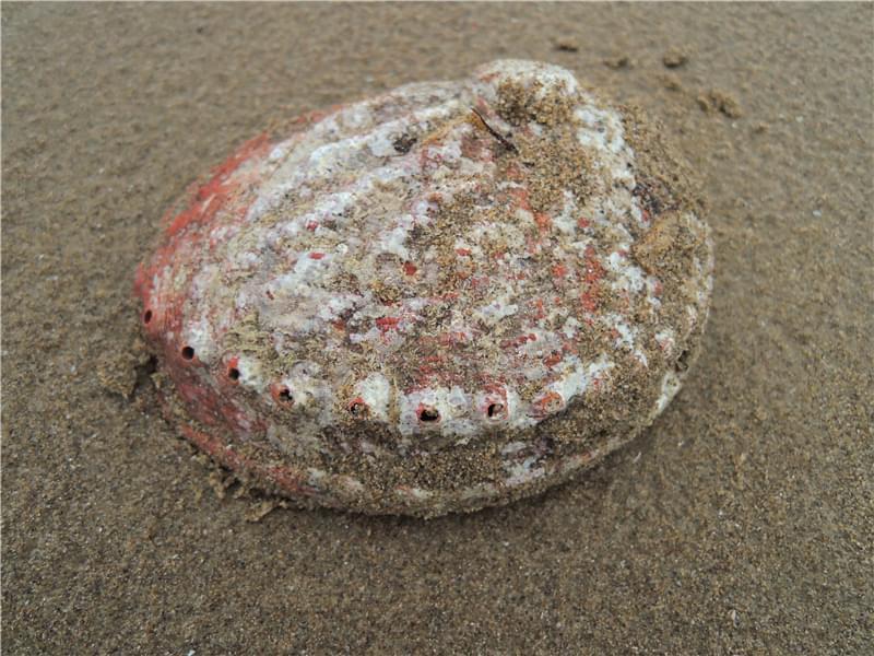 这是大鲍鱼壳吗