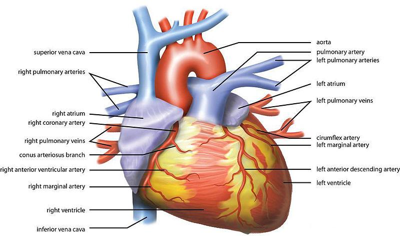 File:Wiki Heart Antomy Ties van Brussel.jpg