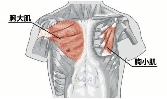 胸大肌位置
