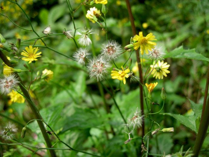 黄鹌菜的花