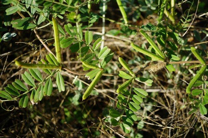 救荒野豌豆种子