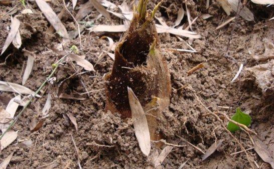 野外求生植物:竹笋