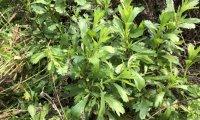野外求生植物:牡蒿